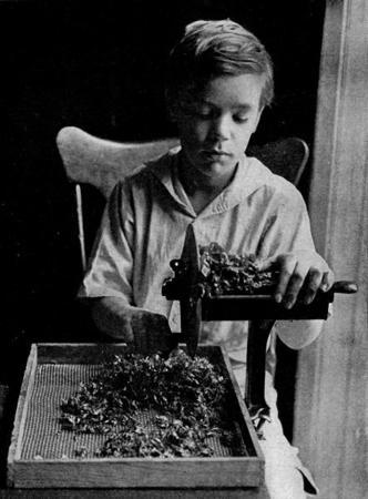 A Young Boy Slices Swiss Chard, 1917